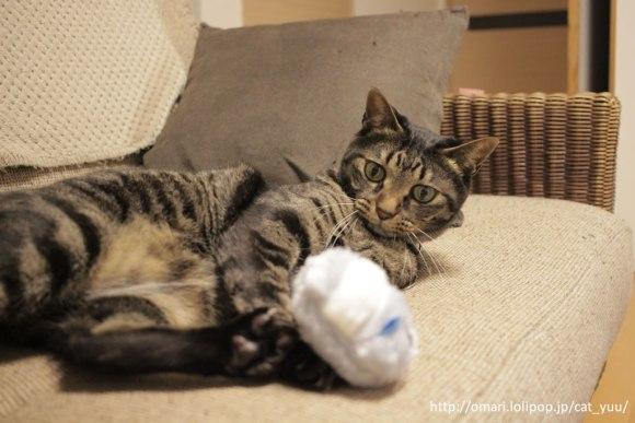 ぬいぐるみで遊ぶキジトラ猫のゆう