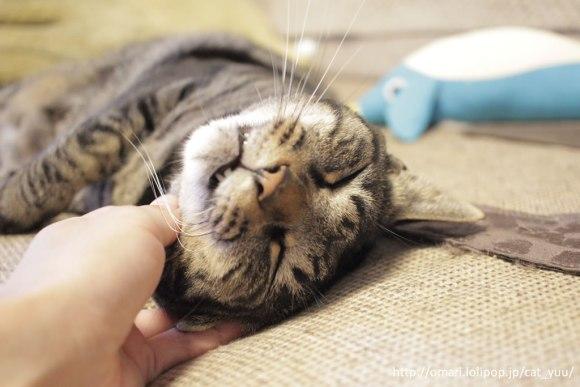あごをなでられて極楽なキジトラ猫のゆう