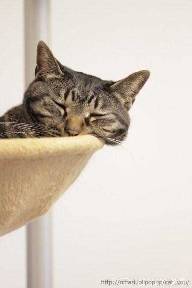 ハンモックのフチから顔の毛をはみ出させて寝ているキジトラ猫のゆう