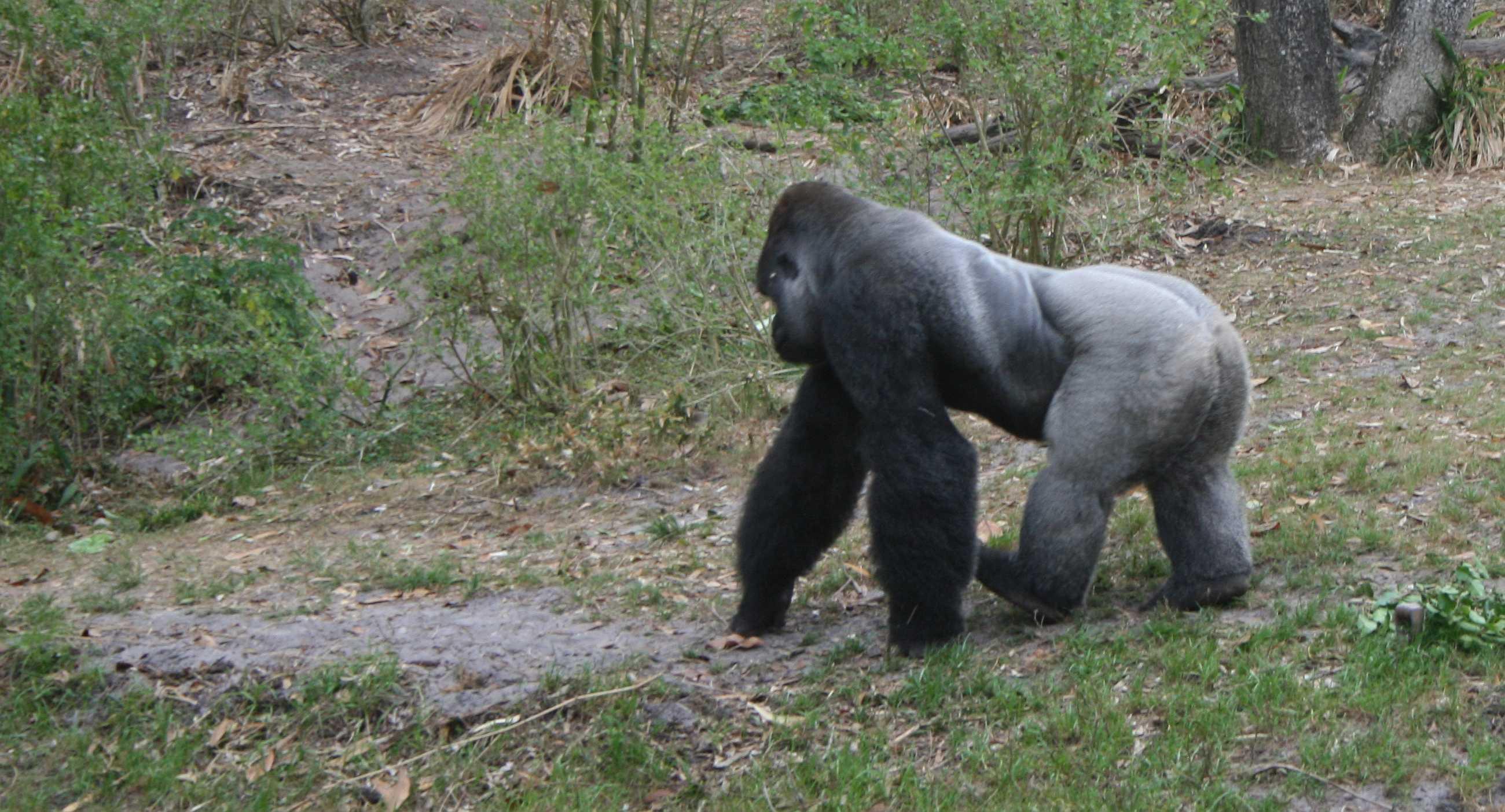 img_0166-0-gorilla-walking