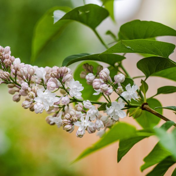 Beauty of Moscow light pink and white lilac variety fragrant white lilac