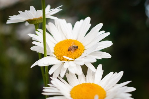 Shasta Daisy with bee how to plant wildflowers