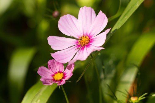 Pink cosmo how to plant wildflowers