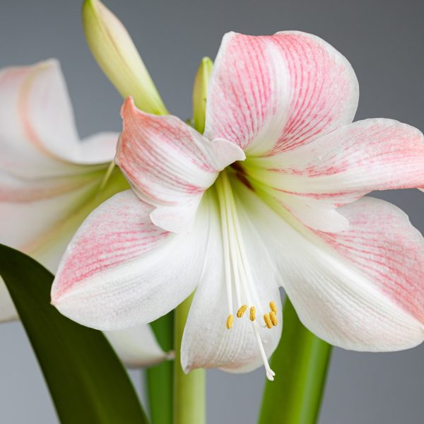 How to plant amaryllis bulbs