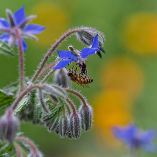 bee on vegetable garden borage