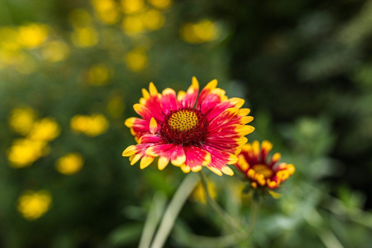 Blanket Flower Native Plant Gailardia Aristata
