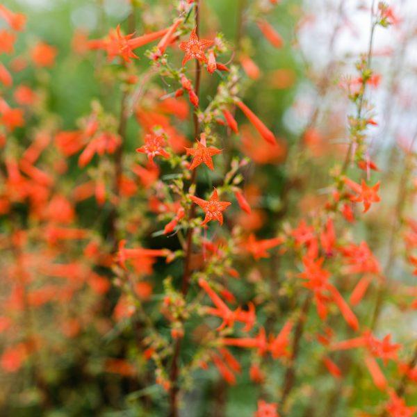 Scarlet Gilia Native Plant