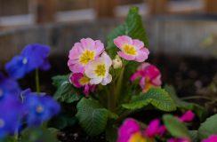 english primrose in pink