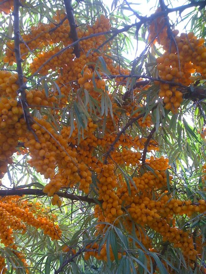 Growing Sea Buckthorn - sea buckthorn with fruit on branch