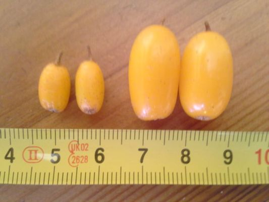 A comparison of Sunny sea buckthorn fruits to another variety of sea buckthorn.