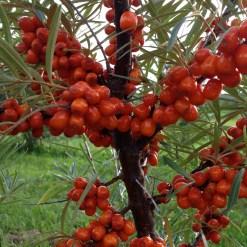 Plants d'Argousier