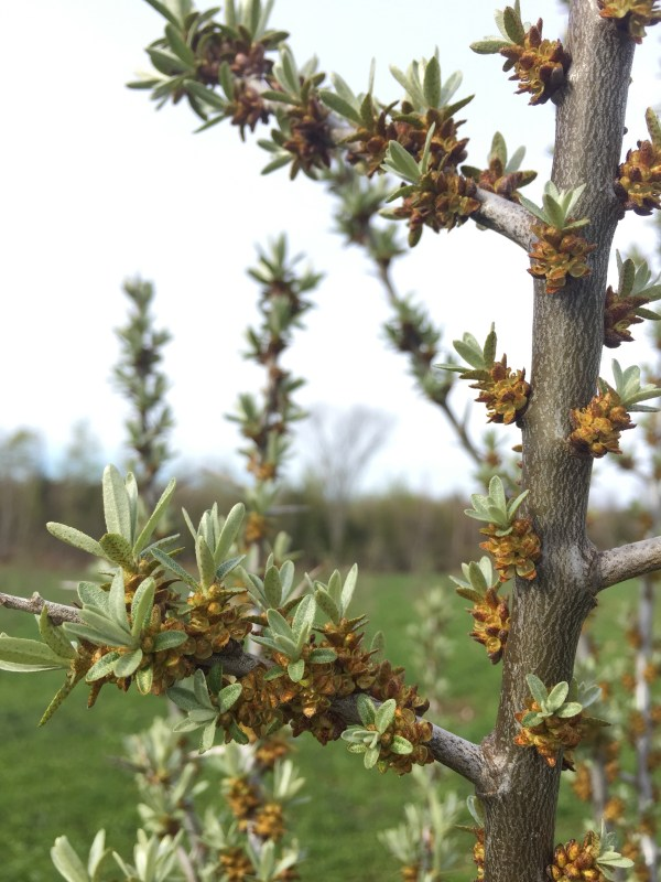 pictures of male and female sea buckthorn flowers