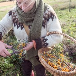 Harvesting Sea buckthorn berries in Quebec