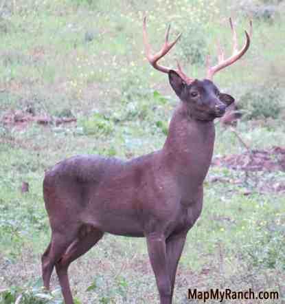 melanistic/black whitetail deer