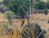 Unidentified bird at Antioch - we saw lots but couldn't get close