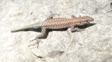 Probably an Anatolian Rock Lizard with half a tail missing...
