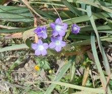 purple-flowers-Teos