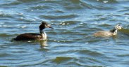 Grebe-and-young-Kastoria