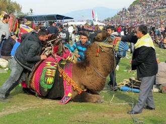 Camels2015C