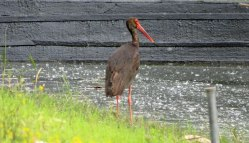 black-stork-at-Kerkini