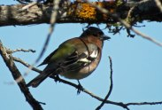 chaffinch-in-prespa