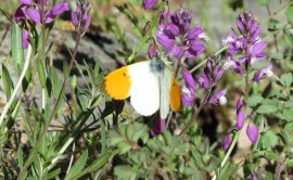 orange-wing-tip-butterfly