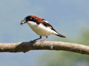 shrike-woodchat-shrike