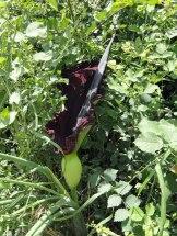 Akyaka-Dracunculis vulgaris