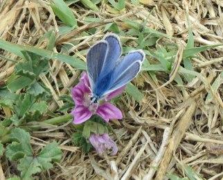blue-kelebek