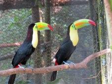 zoo-toucans