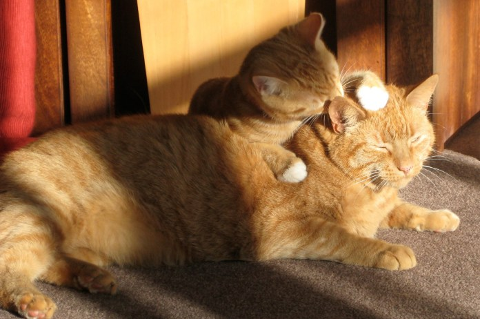 gato lambendo outro gato