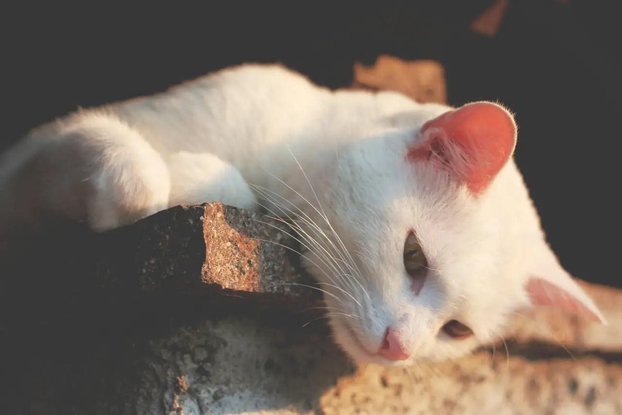 leishmaniasis gatos sintomas