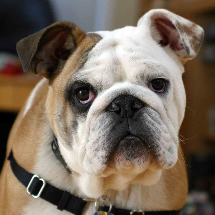 cão braquicefálico
