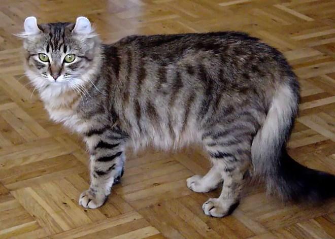 gato-american-curl-long-hair
