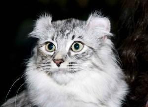 gato-american-curl