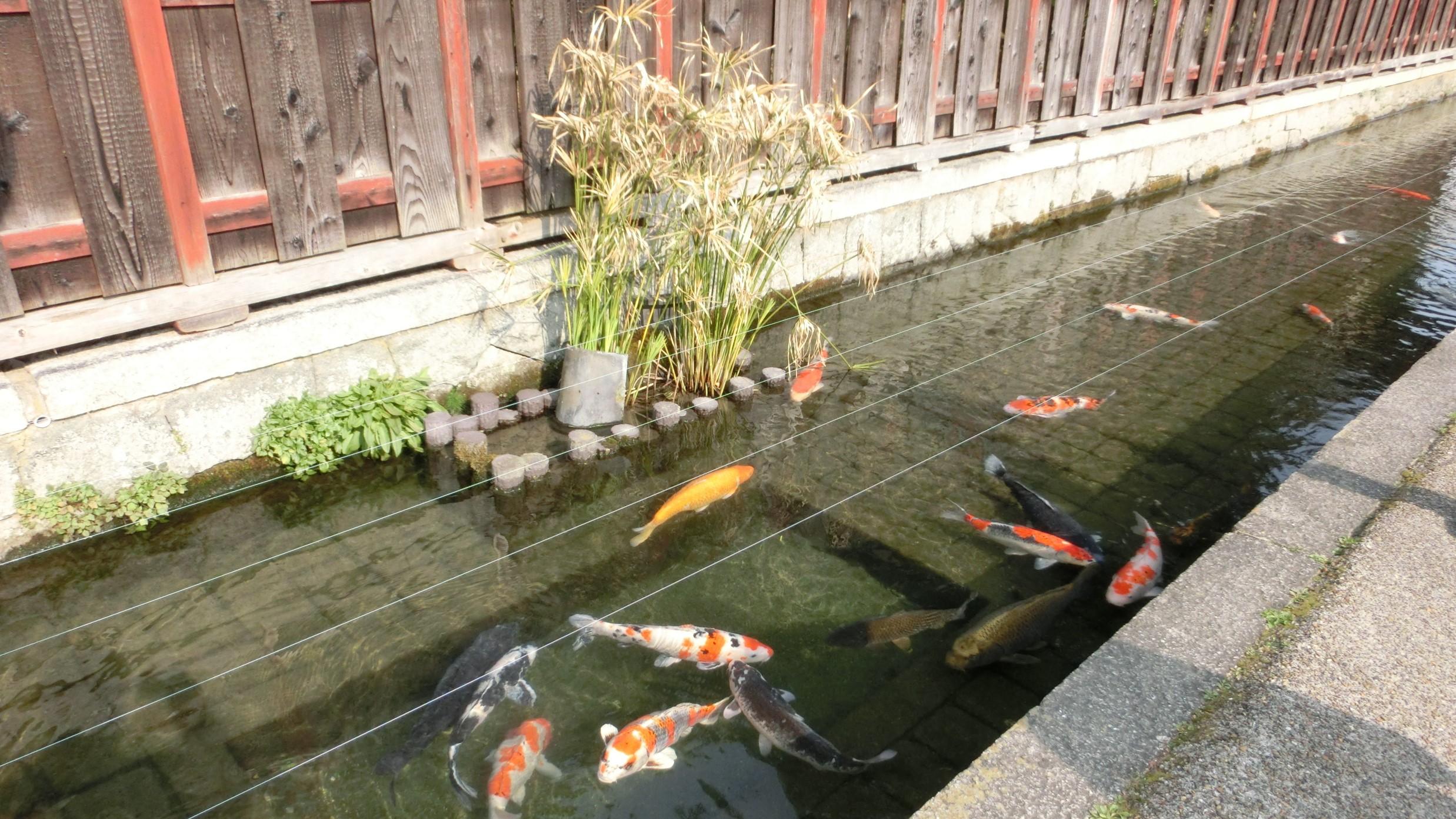 五個荘の鯉