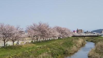 白鳥川_桜ぼんぼり