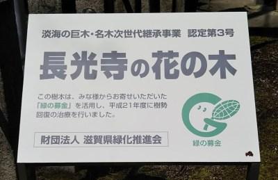 長光寺_ハナノキ(花の木)