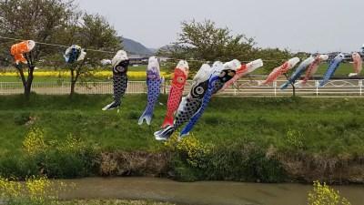 鯉のぼりの川渡し_近江八幡市