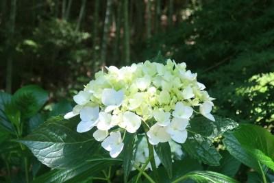 八幡公園_紫陽花