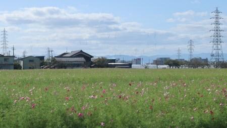野田町コスモス畑2020/10/6