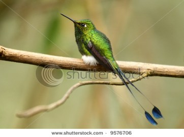 A Booted Racket-Tail at Tandayapa Lodge in the Andes Mountains of Ecuador