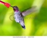 Anna's Hummingbird On Green Background~ Calypte Anna ~ Southern California Native