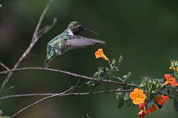 Gambar Kolibri