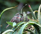 Hummingbird is attacking a much bigger bird