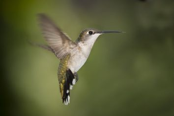 Hummingbird Texas