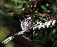 -Hummingbird_in_ggp