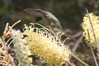 Kolibri dan bunga