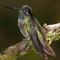 Kolibri Eugenes fulgens