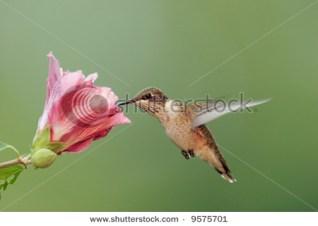 Ruby-throated Hummingbird (archilochus colubris) feeding on a Hibiscus flower